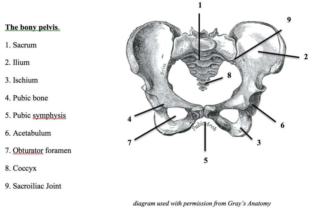 bony-pelvis-anatomy-for-article